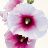 Stephanie Andrew - White Hollyhock I