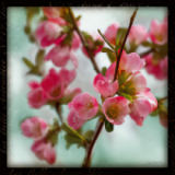 Sue Schlabach - Quince Blossoms II