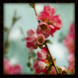 Sue Schlabach - Quince Blossoms III