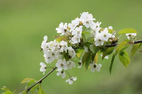 In bloom, Prunus-Avium, Wildpflanzen, Wildpflanze of artist Wildlife (F1 Online) as framed image