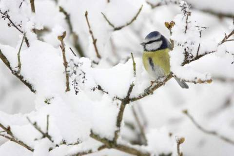 In Schnee, Meise, Colorful, Parinae, Paridae of artist Wildlife (F1 Online) as framed image