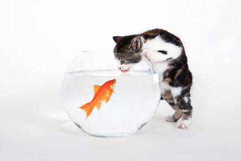 Goldfish Glass with a Young Cat of artist Prisma (F1 Online), Cat, Shy, Fear, Pets, Game, Cute, Fish, Young