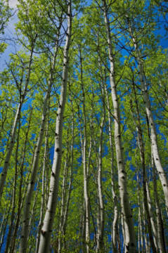 Populus Tremuloides, Haine, Zitternde Pappel, Hain, Pappel of artist All Canada Photos (F1 Online), One, Day, Tree, Pull, Every, Mount, Image, Aspens