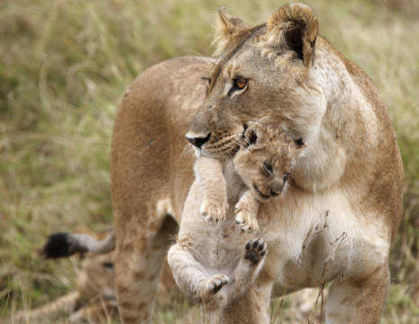 Lioness (Panthera leo) carrying cub in mouth, Masai Mara National Reserve, Kenya of artist Frank Stober (F1 Online) as framed image