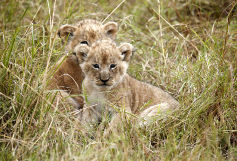 Two lion cubs (Panthera leo) lying in grass, Masai Mara National Reserve, Kenya of artist Frank Stober (F1 Online) as framed image