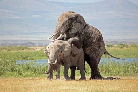 African elephants (Loxodonta africana) mating, Amboseli National Park, Kenya of artist Frank Stober (F1 Online), One, Wild, Each, East, Howdy, Rural, Count, Still