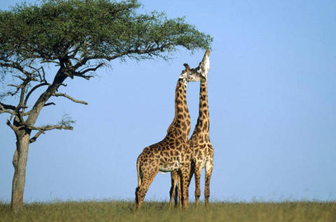 Two giraffes (Giraffa camelopardalis) on the Savanna, Kenya of artist Frank Stober (F1 Online), Day, Sky, Side, Near, Land, Wild, East, Bluer