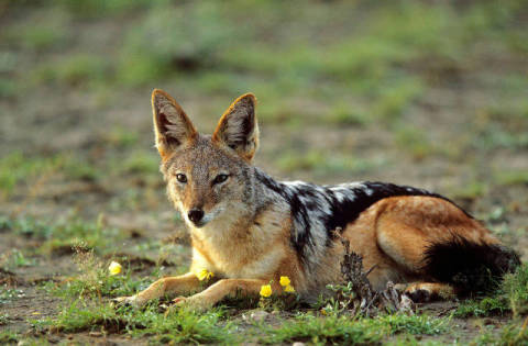 Black-backed jackal (Canis mesomelas) lying, Etosha National Park, Namibia of artist Frank Stober (F1 Online), One, View, Wild, Gaze, Brute, Being, Nature, Jackal
