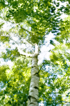 Birch tree in wind, blurred of artist M. Werner (F1 Online), Day, Wind, Wood, Tree, View, Focus, Fuzzy, Color
