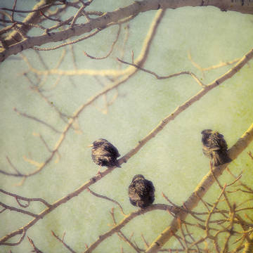 A textured composite pictorialist photograph of starlings sitting in a leafless poplar tree in Alberta, Canada von Künstler First Light (F1 Online), Tag, Dich, Tier, Vögel, Noone, Tiere, Close, Nahem