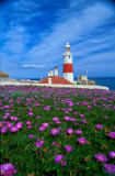 Prisma (F1 Online) - Europe Gibraltar, lighthouse, magenta-purple daisy-like flowers, Hardy Ice Plant, Delosperma cooperi