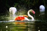 David & Micha Sheldon (F1 Online) - Flamingos Wassertropfen