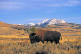 First Light (F1 Online) - Ebenen-Bison, Bison, Yellowstone National Park