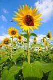 David & Micha Sheldon (F1 Online) - Field of Sunflowers