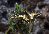 All Canada Photos (F1 Online) - Aninse Swallowtail, Schmetterlinge