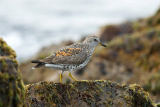 All Canada Photos (F1 Online) - Surfbirds, Surfbird