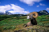 All Canada Photos (F1 Online) - Bighorn Sheep, Ovis Canadensis, Großes Horn