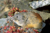 All Canada Photos (F1 Online) - Lemmus-Sibricus, Lemming