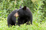 All Canada Photos (F1 Online) - Ursus americanus, Claude Robidoux