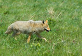 All Canada Photos (F1 Online) - Canis-Latrans, Kojoten, Waterton-Seen-Nationalpark