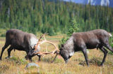 All Canada Photos (F1 Online) - Tonquin Valley, Reindeers, Woodland-Karibu, Gegner