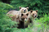 All Canada Photos (F1 Online) - Silvertip Bear, West-Kanada