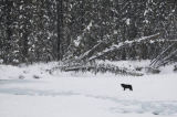 All Canada Photos (F1 Online) - Holz-Wolf, Canids, Canis-Lupus
