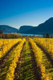 All Canada Photos (F1 Online) - Okanagan Falls, Weinreben, Weinrebe, Okanagan Valley