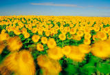 All Canada Photos (F1 Online) - Helianthus-Annuus, Sonnenblume