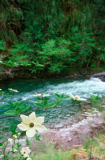 All Canada Photos (F1 Online) - Pazifisches Dogwood, Cowichan-Fluss, Cowichan Valley