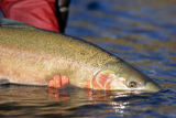 All Canada Photos (F1 Online) - Steelhead Salmon, Sportfischer, Steelhead