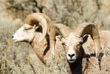 All Canada Photos (F1 Online) - Harper-Talranch, Bighorns, Großes Horn