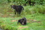 All Canada Photos (F1 Online) - Zwei Bären, Tongass National Park, Yearlings, Silvertip tragen, Fisch-Bach