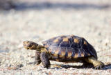 All Canada Photos (F1 Online) - Gopherus-Agassizi, Sonoran Desert, West-Vereinigt-Staaten