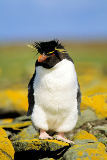 All Canada Photos (F1 Online) - Rockhopper-Pinguin, Falklandinseln, Südhalbkugel