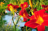 First Light (F1 Online) - In Blüte, Daylily, Lilien, Lilie