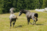 David & Micha Sheldon (F1 Online) - Two horses running over a meadow, Styria, Austria