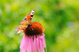 David & Micha Sheldon (F1 Online) - Peacock butterfly (Inachis io) sitting on a flower, Bavaria, Germany, close-up