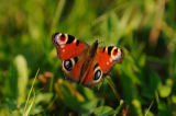 David & Micha Sheldon (F1 Online) - European Peacock (Inachis io) on meadow, Bavaria, Germany, close-up