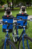 First Light (F1 Online) - Two pug dogs in carriers on bicycles, Riverdale Park, Toronto, Ontario