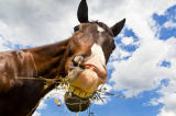 First Light (F1 Online) - Female Quarter horse eating weeds, Canandaigua, New York
