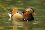 David & Micha Sheldon (F1 Online) - Mandarin Duck (Aix galericulata), zoological garden of Augsburg, Germany, side view