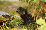 David & Micha Sheldon (F1 Online) - Young otter (Lutra lutra) in meadow, side view