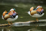 David & Micha Sheldon (F1 Online) - Two Mandarin Ducks (Aix galericulata) sitting on tree trunk, zoological garden of Augsburg, Germany
