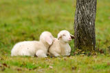 David & Micha Sheldon (F1 Online) - Two sheep (Ovis orientalis aries) lying on a meadow, Bavaria, Germany