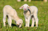 David & Micha Sheldon (F1 Online) - Two sheep (Ovis orientalis aries) on a meadow, Bavaria, Germany