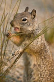 Andreas Geh (F1 Online) - Ground squirrel (Xerinae), Yosemite National Park, California, USA, close-up