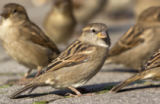 M+M. Hjelm (F1 Online) - House sparrows, Berlin, Germany