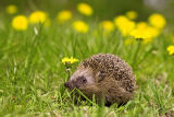 M+M. Hjelm (F1 Online) - Hedgehog on a meadow, Geesthacht, Schleswig-Holstein, Germany