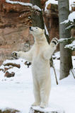 David & Micha Sheldon (F1 Online) - Polar bear (Ursus maritimus) standing on hind paws in snow